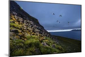 Auks in Flight Off an Island in the Franz Josef Archipelago by Cory Richards