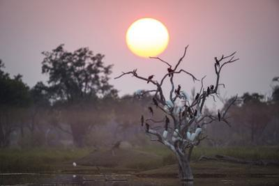 Egrets Perch in a Dead Tree in Botswana's Moremi Game Reserve by Cory Richards
