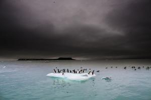 Murres Perching on an Iceberg Off Hooker Island by Cory Richards