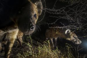 Spotted Hyenas Check Out a Camera Trap in the Okavango Delta by Cory Richards