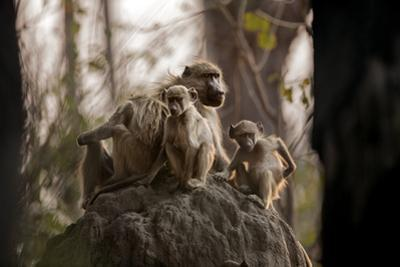 Termite Mounds in the Okavango Delta Provide High Ground for a Chacma Baboon Family by Cory Richards