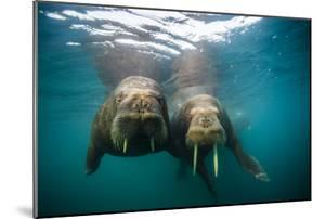 Walruses Approach Swimming in the Arctic Ocean Off Hooker Island by Cory Richards