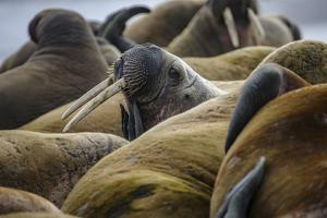 Walruses Off Hooker Island by Cory Richards