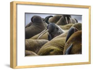 Walruses Off Hooker Island by Cory Richards