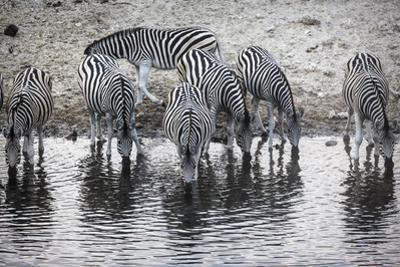 Zebras Drink from the Boteti River in Botswana's Makgadikgadi Pans by Cory Richards