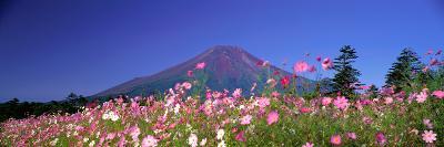 Cosmea Mount. Fuji Oshino Yamanashi Japan--Photographic Print