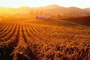 Usa, California, Napa Valley, Vineyards at Sunset by Cosmo Condina