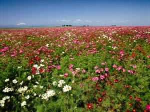 Cosmos field and Mt Jefferson, Madras, Jefferson County, Oregon, USA