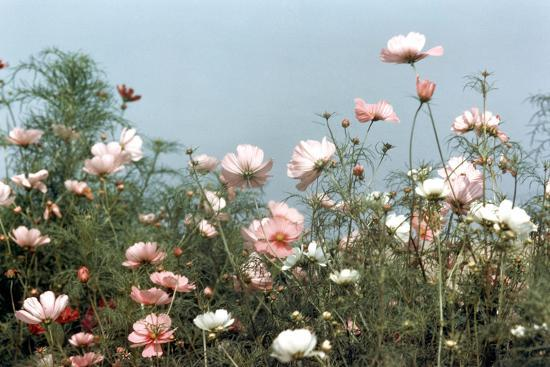 Cosmos Flowers at Beetlebung Corner, Martha's Vineyard, Massachusetts 1960S-Alfred Eisenstaedt-Photographic Print