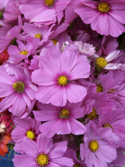 Cosmos Plant in Bloom at Market, Marin, California--Photographic Print
