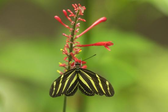 Costa Rica, Arenal. Zebra Butterfly-Jaynes Gallery-Photographic Print