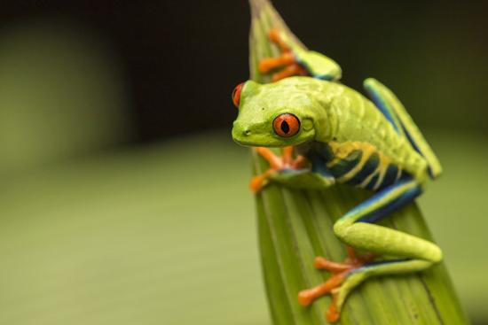 Costa Rica. Red-Eyed Tree Frog Close-Up-Jaynes Gallery-Photographic Print