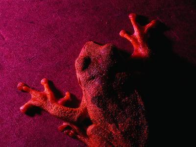 Costa Rican Tree Frog-Dan Gair-Photographic Print