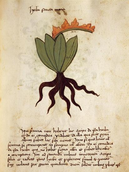 Costmary or Balsam Herb (Tanacetum Balsamita)--Giclee Print