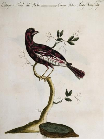 Cotinga or Thrush from the Indies (Cotinga Indica or Turdus Indicus Aliis)--Giclee Print