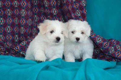 Coton De Tulear Puppies Posing-Zandria Muench Beraldo-Photographic Print