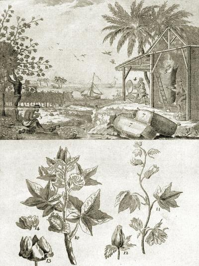 Coton or the Cotton Plant--Giclee Print