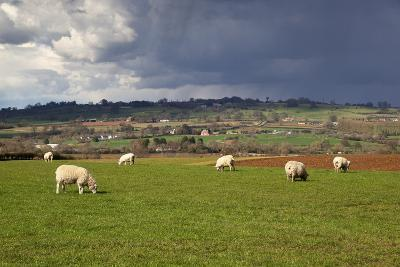 Cotswold Landscape with Sheep, Chipping Campden, Cotswolds, Gloucestershire, England-Stuart Black-Photographic Print