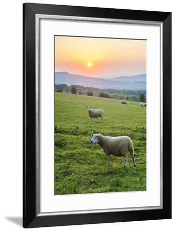 Cotswold Sheep at Sunset, Winchcombe, the Cotswolds, Gloucestershire, England-Matthew Williams-Ellis-Framed Photographic Print