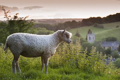 Cotswolds Lion Rare Breed Sheep (Ovis Aries) And The Village Of Naunton At Sunset-Nick Turner-Photographic Print