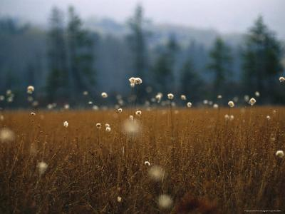 Cotton Grass, Sedges and a Red Spruce Forest in a Bog-Raymond Gehman-Photographic Print