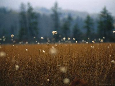 https://imgc.artprintimages.com/img/print/cotton-grass-sedges-and-a-red-spruce-forest-in-a-bog_u-l-p5x2ib0.jpg?p=0