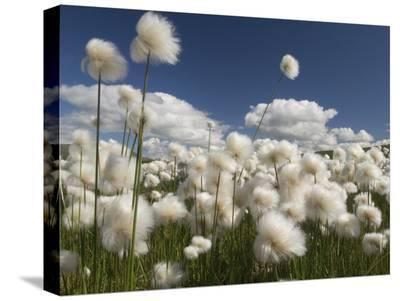 Cotton Grass Seed Heads Whip in the Wind, Paxon Alaska-Michael S^ Quinton-Stretched Canvas Print