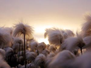 Cotton Grass Stands Tall in the Setting Sun in Kulusuk, Greenland