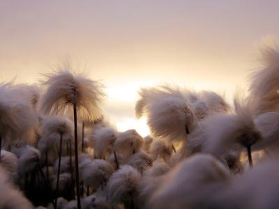 Cotton Grass Stands Tall in the Setting Sun in Kulusuk, Greenland--Photographic Print
