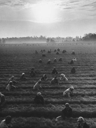 Cotton Pickers Working in the Fields