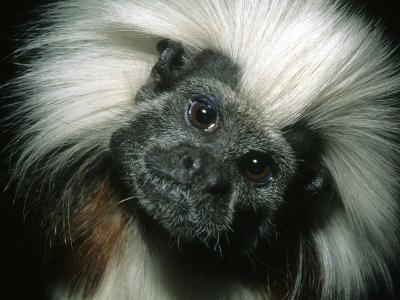 Cotton-Top Tamarin, Colombia-Kevin Schafer-Photographic Print