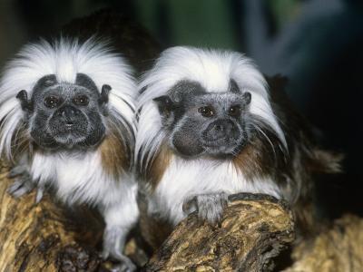 Cotton-Top Tamarins (Saguinus Oedipus), a New World Rainforest Primate, Columbia, South America-Ken Lucas-Photographic Print