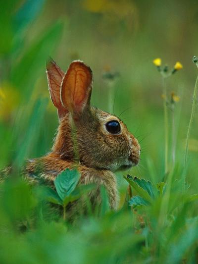 Cottontail Rabbit in the Grass-Joe McDonald-Photographic Print