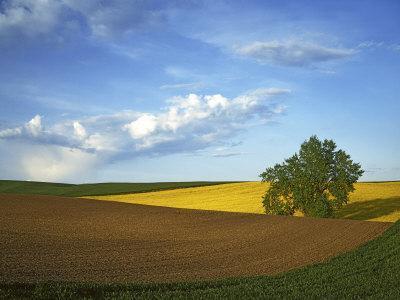 https://imgc.artprintimages.com/img/print/cottonwood-and-palouse-fields-whitman-county-washington-usa_u-l-p84o660.jpg?p=0