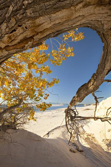Cottonwood Tree with Fall Color in White Sands National Monument-Derek Von Briesen-Photographic Print