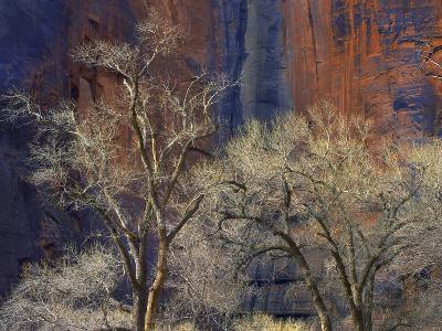 Cottonwood Trees Among the Stained Walls of Zion Canyon, Zion National Park, Utah-Tim Fitzharris-Photographic Print