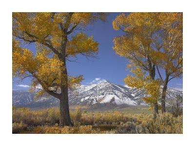 Cottonwood trees, fall foliage, Carson Valley, Nevada-Tim Fitzharris-Art Print