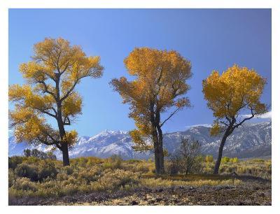 Cottonwood trees, fall foliage, Carson Valley, Nevada-Tim Fitzharris-Art Print