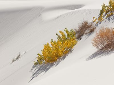 Cottonwood Trees with Fall Color and Salt Cedar in White Sands National Monument-Derek Von Briesen-Photographic Print