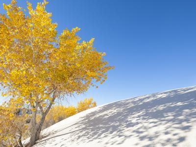 Cottonwood Trees with Fall Color in White Sands National Monument-Derek Von Briesen-Photographic Print