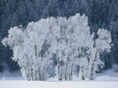 Cottonwood Trees with Frost Near Steamboat Springs, Colorado-Skip Brown-Photographic Print