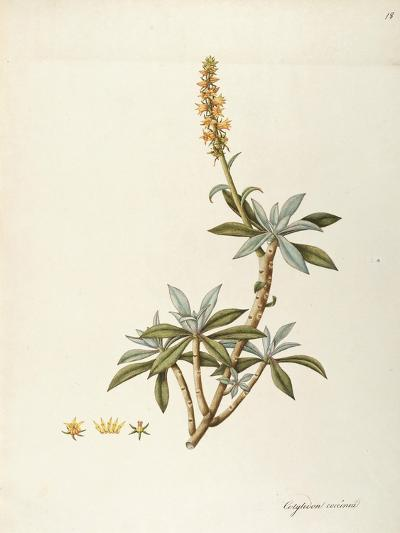 Cotyledon Coccinea (Crassulaceae) by Angela Rossi Bottione, Watercolour, 1812-1837--Giclee Print