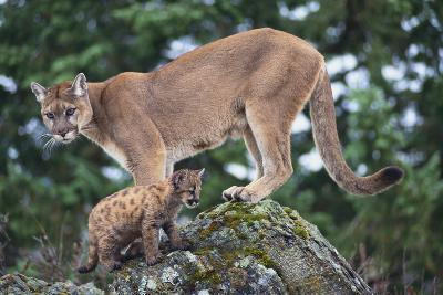 Cougar and Cub-DLILLC-Photographic Print