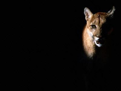 https://imgc.artprintimages.com/img/print/cougar-felis-concolor-aka-puma-or-mountain-lion-arizona-sonora-desert-museum-tucson-u-s-a_u-l-pxt2ho0.jpg?p=0