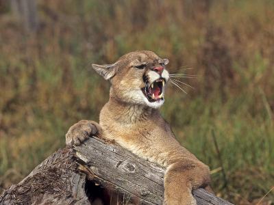 Cougar Growling-outdoorsman-Photographic Print
