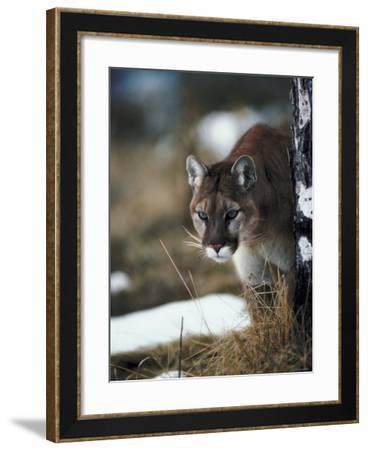 Cougar Hunting Prey in Forest--Framed Photographic Print