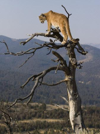 https://imgc.artprintimages.com/img/print/cougar-in-a-tree_u-l-p864cv0.jpg?p=0