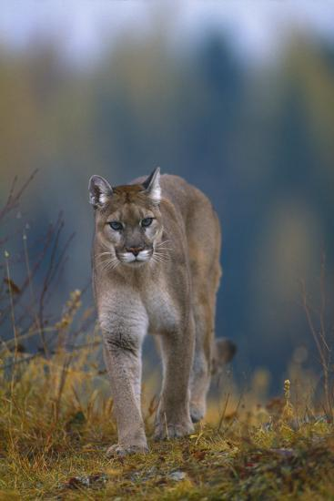 Cougar in Autumn-DLILLC-Photographic Print