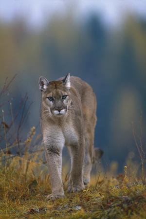 https://imgc.artprintimages.com/img/print/cougar-in-autumn_u-l-pzr0uv0.jpg?p=0