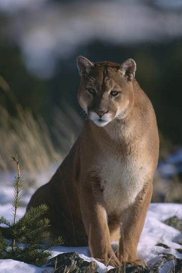 Cougar in Snow-DLILLC-Photographic Print